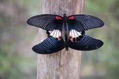 Farfalle accoppiamento immagine stock