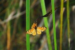 Farfalle accoppiamento della NATURA nel Sudafrica fotografia stock libera da diritti