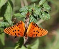 Farfalle accoppiamento di Fritilary del golfo immagine stock