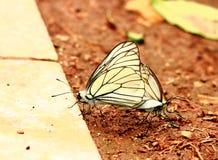 Farfalle accoppiamento felici Immagini Stock