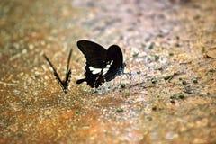 Farfalle alla foresta della Tailandia Immagini Stock