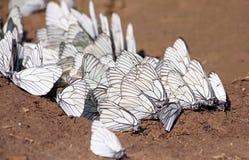 farfalle bianche Nero-venate Immagine Stock