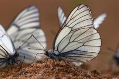 Farfalle bianche sulla sabbia Immagine Stock Libera da Diritti