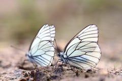 Farfalle bianche sulla sabbia Fotografie Stock