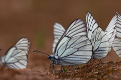 Farfalle bianche sulla sabbia Fotografia Stock Libera da Diritti