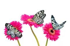 Farfalle in bianco e nero su Gerberas dentellare. Immagini Stock
