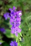 Farfalle blu Fotografia Stock