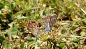 Farfalle blu comuni Immagine Stock Libera da Diritti