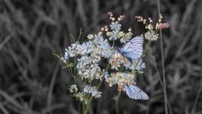 Farfalle blu del primo piano su colore selettivo del fiore Immagine Stock