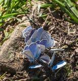 Farfalle blu delicate in natura Fotografie Stock Libere da Diritti