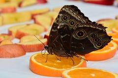 Farfalle blu di Morpho alla stazione d'alimentazione Immagine Stock