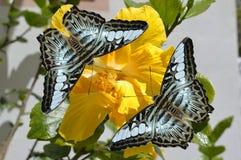 Farfalle blu malesi del tagliatore su un fiore giallo Immagine Stock Libera da Diritti