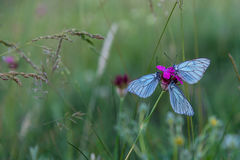 Farfalle blu sulla macro porpora del garofano Fotografie Stock Libere da Diritti