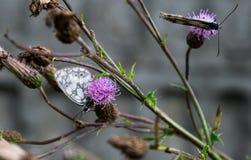 Farfalle, cardo selvatico Fotografia Stock Libera da Diritti