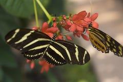 Farfalle che appendono sulle fioriture Immagine Stock Libera da Diritti