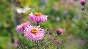 Farfalle che sorvolano i fiori rosa del giardino video d archivio