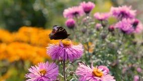 Farfalle che sorvolano i fiori rosa del giardino archivi video