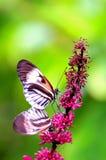 Farfalle chiave del piano che si accoppiano sui fiori Fotografie Stock Libere da Diritti