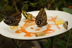 Farfalle d'alimentazione Immagini Stock