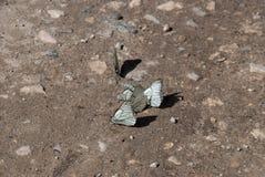 Farfalle del mazzo sulla sabbia di struttura Immagini Stock