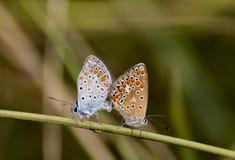 Farfalle dell'accoppiamento Fotografia Stock