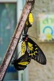 Farfalle di allevamento Fotografie Stock