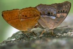 Farfalle di allevamento Fotografia Stock