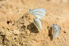 Farfalle di bianco dell'albero immagine stock libera da diritti