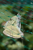 Farfalle di bianco di cavolo Immagini Stock