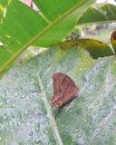 Farfalle di Brown sulle foglie bagnate fotografia stock