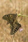 Farfalle di coda di rondine, machaon di Papilio, appendente fuori dal flowerhead Fotografia Stock Libera da Diritti