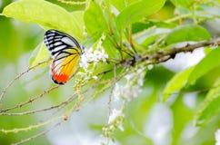 Farfalle di estate Fotografie Stock Libere da Diritti