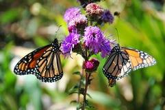 Farfalle di monarca fotografia stock libera da diritti