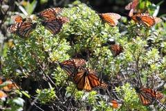 Farfalle di monarca Fotografie Stock Libere da Diritti