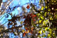 Farfalle di monarca Fotografia Stock