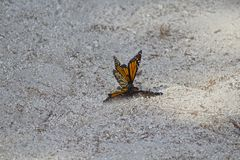 Farfalle di monarca accoppiamento Fotografia Stock Libera da Diritti