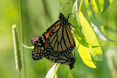 Farfalle di monarca accoppiamento Fotografie Stock Libere da Diritti