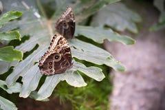 Farfalle di monarca blu Fotografia Stock