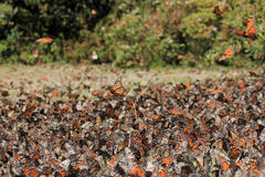 Farfalle di monarca, Michoacan, Messico fotografie stock