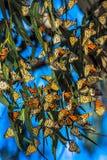 Farfalle di monarca di migrazione fotografia stock libera da diritti