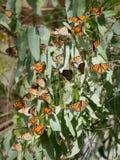 Farfalle di monarca (plexippus del Danaus) Immagini Stock