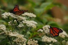 Farfalle di monarca sui fiori selvaggi bianchi verso la fine di estate immagini stock libere da diritti
