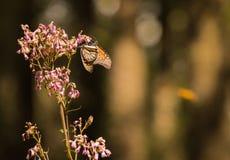 Farfalle di monarca sul ironweed Fotografie Stock
