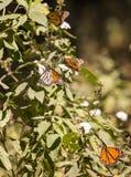 Farfalle di monarca sul milkweed Fotografie Stock Libere da Diritti