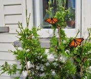 Farfalle di monarca sulla conifera davanti alla casa immagini stock