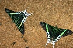 Farfalle di Urania Immagine Stock