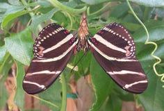 Farfalle doppie di Longwing della zebra fotografia stock