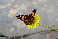Farfalle e fiori fotografia stock libera da diritti