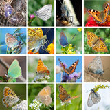 Farfalle europee Fotografie Stock Libere da Diritti