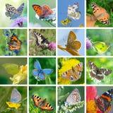 Farfalle europee Fotografia Stock Libera da Diritti